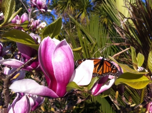 Magnolia and Monarch butterfly, Leigh September 2011