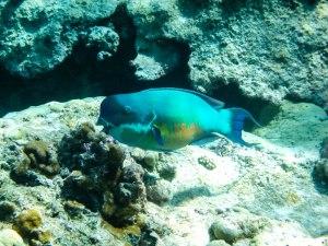 Parrot fish?