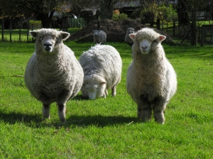 Sheepies